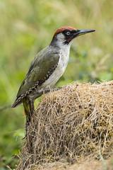 Green Woodpecker (Bill Richmond) Tags: greenwoodpecker picusviridus european picidae nikond810 nikon500f4