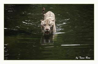 SHF_9018_White tiger