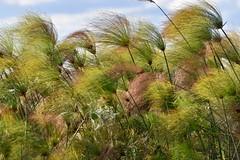 Okavango Delta (Jacques Teller) Tags: okavangodelta okavango delta botswana africa sky plants nature papyrus wind green nikond7200 jacquesteller