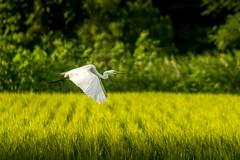 Fly away (kellypettit) Tags: heron flyaway takeoff soar fly bird sunset goldenhour ricefield ricepaddy ricepaddies birdinflight