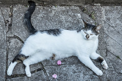 Tableau (Martin-Fused) Tags: animal cat domesticshorthair england fur george grey home outdoors paintinglike pet pose stone tableau uk white