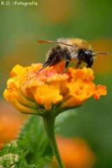 Makro / Macro (R.O. - Fotografie) Tags: makro macro biene blume bee flower bokeh rofotografie outside outdoor natur nature closeup close up nahaufnahme panasonic lumix dmcgx8 dmc gx8 olympus 60mmanimal insekt insect tier