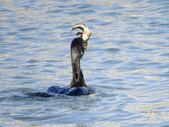 Great cormorant with prey, a goby. (Vitaly Giragosov) Tags: большойбаклан севастополь крым чёрноеморе rf crimea sevastopol blacksea goby phalacrocoraxcarbo aquaticbirds
