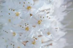 pure innocence (christophe.laigle) Tags: christophelaigle fleur macro nature flower fuji blanc xpro2 xf60mm white