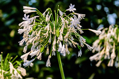 Longwood_172 (Lance Rogers) Tags: africanlilyagapanthus camera flower flowers kennettsquare pa longwoodgardens nikond500 pennsylvania people places lancerogersphotoscom ©lancerogers