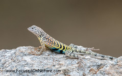 Greater Earless Lizard (FocusedOnNature.com) Tags: greaterearlesslizard