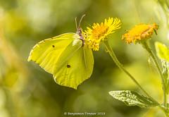 Brimstone - Gonepteryx rhamni (frattonparker) Tags: btonner bokeh butterfly farfalle isleofwight lightroom6 mariposa nikond610 papilon raw schmetterling tamron28300mm frattonparker walterscopse newtown