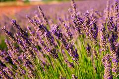Lavande, abeilles (unter15) Tags: france provence lavande abeilles fleurs