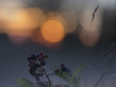 Wild berries (Jan.Timmons) Tags: sunset berries wildberries asshot pacificnorthwest washingtonstate jantimmons nature wild free nikond5 sigma135mmf18artlens bokehsuns selectivefocus bitofsmoke