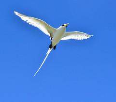 White-tailed Tropicbird (dorneyphoto) Tags: elements seychelles birdisland whitetailedtropicbird nikonflickraward