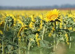 There's Always One... (slammerking) Tags: flowers sunflowers kansas agriculture flower