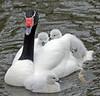 blacknecked swan artis BB2A3861 (j.a.kok) Tags: zwaan zwarthalszwaan swan bird waterbird watervogel blackneckedswan artis animal vogel moederenkind motherandchild