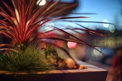 Waiting for dinner outside (PeterThoeny) Tags: cupertino california siliconvalley sanfranciscobay sanfranciscobayarea southbay plant night dream dof depthoffield shallowdepthoffield bokeh bubbles sony sonya7 a7 a7ii a7mii alpha7mii ilce7m2 fullframe vintagelens dreamlens canon50mmf095 canon 1xp raw photomatix hdr qualityhdr qualityhdrphotography fav200