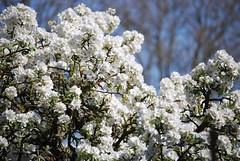 White (hub en gerie) Tags: white pear spring voorjaar bloesem peer perenbloesem boom wit bloem nature natuur lente 52in2018challenge 25white