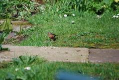 Male chaffinch 140418 - DSC_0259 (Leslie Platt) Tags: exposureadjusted straightened cropped cheshirewestchester redhillcottages gardenbirds malechaffinch