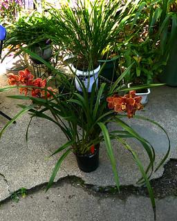 Cymbidium (Goodnight George 'Geyserland' x Sunline 'Geyserland') 'Nolehace'  hybrid orchid 4-18