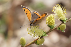 Lycaena phlaeas (Small Copper) (greggys stuff) Tags: lycaenaphlaeas smallcopper oxwich gower april