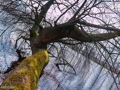 Spring is coming (0084) (Stefan Beckhusen) Tags: gnarlytree leaflesstree mossytree water pond lake diagonale springseason sky sunny sun tree outdoor vegetation ecosystem season seasonal growth viehmoor