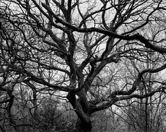Oak (Hyons Wood) (Jonathan Carr) Tags: tree branch ancient woodland rural northeast monochrome landscape 4x5 5x4 largeformat black white bw toyo45a