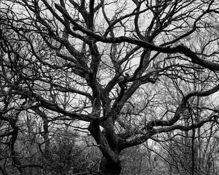 Oak (Hyons Wood)