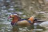 Mandarin Duck (George_Adkins) Tags: duck balboapark sandiego waterfowl botanicalbuildinglilypond lilypond mandarinduck