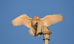 Snowy Owl (aj4095) Tags: snowy owl nature wildlife bird outdoor spring canada