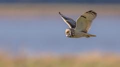 Short Eared Owl (Glenn.B) Tags: aust gloucestershire birdofprey bird raptor scrubland owl shortearedowl