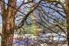 Like A Rainbow... (fishmonger45) Tags: rainbows trees hdraddicted hdr hdrphotomatix greatphotographers tonemapped