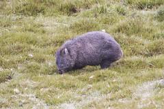 Common Wombat (Baractus) Tags: cradle mountain national park tasmania australia common wombat john oates inala nature tours