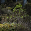 Natural Regeneration (prajpix) Tags: pine scots caledonian woods trees forest woodland pinewoods nature