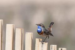 Gorgebleue à miroir - Bluethroat (Luscinia svecica cyanecula) (Ziza !) Tags: oiseau bird gorgebleue gorgebleueàmiroir bluethroat lusciniasvecica lusciniasvecicacyanecula