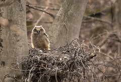 One reamins..... (Kevin Povenz Thanks for all the views and comments) Tags: 2018 april westmichigan michigan kevinpovenz ottawa ottawacounty ottawacountyparks grandravinesnorth owl owlet greathornedowl bird birdsofprey nest tree nature wildlife outdoors outside canon7dmarkii sigma150500