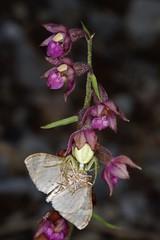 Une araignée crabe, Misumena vatia, à l'affût sur le labelle d'une orchidée Epipactis vient de capturer un papillon. (chug14) Tags: unlimitedphotos macro epipactis araignée spider arachnida araneae thomisidae araignéecrabe misumenavatia
