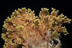 Melithaea splendens - Splendid knotted gorgonian - Узелковая мелитея (atardecer2018) Tags: filippines scubadiving sabang diving underwater 2018