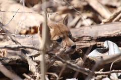 315/365/3602 (April 22, 2018) - Coyote Pup at Maybury State Park (Northville, Michigan) - April 2018 (cseeman) Tags: parks stateparks michiganstateparks departmentofnaturalresources michigandepartmentofnaturalresources northville michigan maybury mayburystatepark trees trails paths nature publicparks wildlife mayburyapril2018 kits foxkits redfoxes redfoxkits animals foxes mayburyapril2018foxkits 2018project365coreys yeartenproject365coreys project365 p365cs042018 356project2018 pups coyotepups coyote mayburyapril2018coyotepups