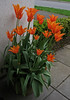 Ballerina :    113/365 (amandabhslater) Tags: tulip ballerina flowers pot orange leaves path 2018aphotographicdiary
