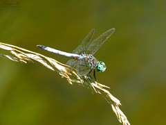 Blue Dasher IMG_6733 (Jennz World) Tags: ©jennifermlivick mountpleasantnaturepark mountpleasant mtpleasant ontario canada dragonfly damselfly