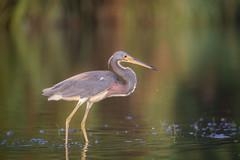 Camo (gseloff) Tags: tricoloredheron bird nature wildlife animal water reflection morning color bayou horsepenbayou pasadena texas kayak gseloff