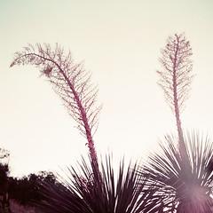 (Joann Edmonds) Tags: rollfilmweek rollfilm film mediumformat 120 yashica12 tlr lomochromepurple lomography pink purple desert mojave highdesert botanical flora colorshift nolina joshuatreenationalpark jtnp california feathery otherworldly strangeworlds glare