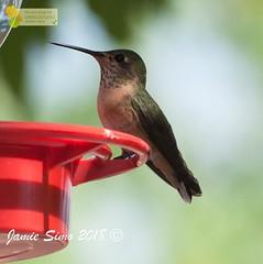 Calliope Hummingbird adult female (ironekilz) Tags: chatfieldstatepark