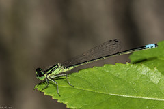 Damselfly portrait (Fred Roe) Tags: nikond810 nikonafsmicronikkor105mmf28 nature wildlife insect damselfly macro peacevalleypark