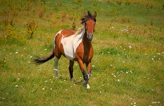 P2160146 (Denis-07) Tags: cheval animal horse pie