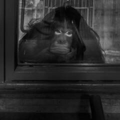 No title (Julio López Saguar) Tags: juliolópezsaguar blancoynegro blackandwhite película film ciudad city calle street zoo jaula jail primate madrid españa spain urban urbano madridvidamía madridmylife cage