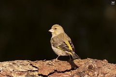 Verdilhao, European Greenfinch (Carduelis chloris) (Nuno Xavier Moreira) Tags: verdilhao europeangreenfinchcarduelischlorisemliberdadewildlifenunoxavierlopesmoreirangc v animals animais aves de portugal observação nature natureza selvagem pics wildlife wildnature wild photographer birds birding birdwatching em bird ao ar livre ornitologia ngc nuno xavier moreira nunoxaviermoreira liberdade national geographic all xpress us carduelischloris chlorischloris europeangreenfinch