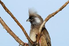 Colius striatus (Speckled Mousebird) - Isunga, Uganda. (Nick Dean1) Tags: animalia chordata aves passerine passeriformes speckledmousebird coliusstriatus isunga kibale kibalenationalpark uganda