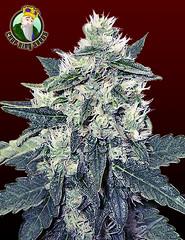 White-Voodoo1 (Watcher1999) Tags: medical marijuana cannabis seeds california bob marley growing weed smoking ganja reggae legalize it