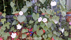 Morning Glory flowering on balcony railings 5th August 2018 002 (D@viD_2.011) Tags: morning glory balcony railings august 2018