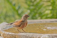 2018.05.24 - 1961 - Linotte mélodieuse Bois Bas © (chmeyer51) Tags: oiseau linottemélodieuse fringillidae cardueliscannabina