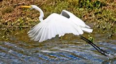 Great White (beverlyks) Tags: louisiana holidays roadtrip southwestlouisiana tourist travel cajuncountry bayoucountry atchefalaya swamp swamppeople cajun bayou