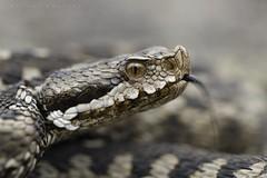Vipera aspis zinnikeri, portrait d'une femelle adulte, haute vallée du Gave d'Arrens. (G. Pottier) Tags: vipera vipère vipèreaspic vipèreaspicdezinniker vipèreaspicdespyrénées viperaaspis viperaaspiszinnikeri venin venimeux serpent snake viper viperidae solénoglyphe pyrénées biodiversité sousespèce d850 afsvrmicronikkor105mmf28gifed